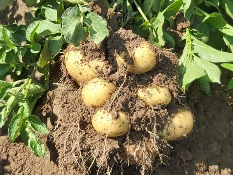 картофельный клубень