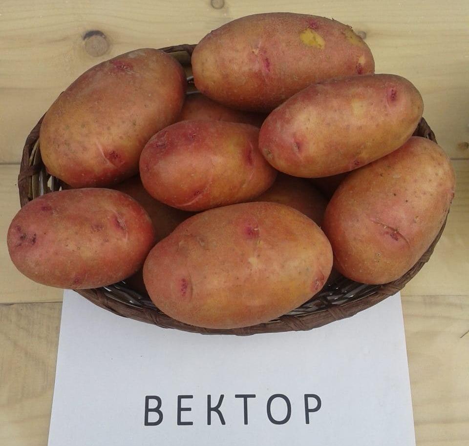нашей коже картофель вектор описание сорта фото отзывы это четверть населения