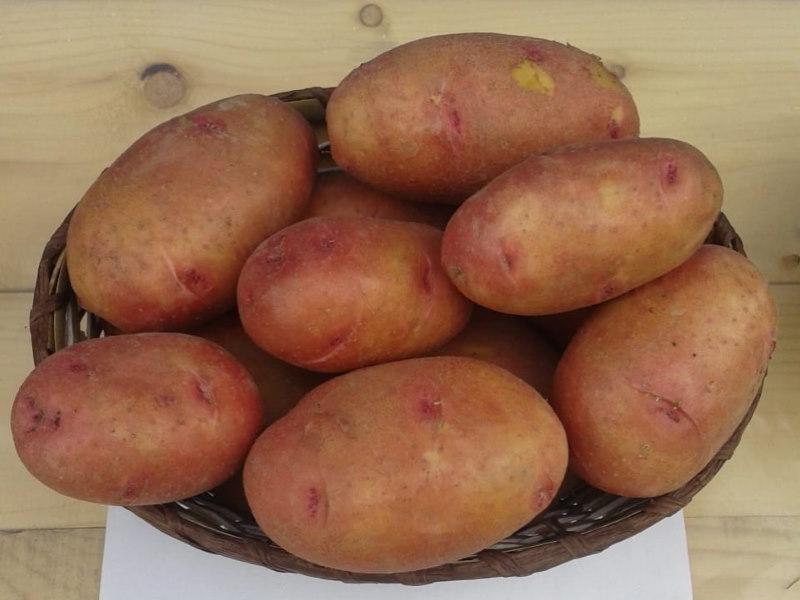 картофель вектар белорусский